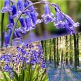 15 - Large English Bluebell Bulbs -  Hyacinthoides Non-Scripta