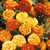 6 Pack of  -  Mixed French Marigolds