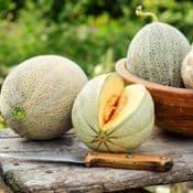 Cantaloupe Melon  - UK Grown -  8.5cm Pot