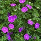 Geranium Sanguineum Vision Violet - 9cm Pot