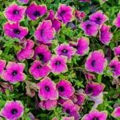 Large 13cm Pot - Unusual Petunia Designer Buzz Purple