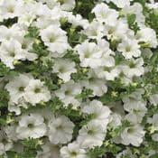 Large 13cm  Pots - Petunia Surfinia White