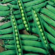 Strip Pack of 15 - Peas - Geenshaft -  Young Plants