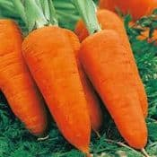 Strip Pack of  20 - Carrot Chantenay