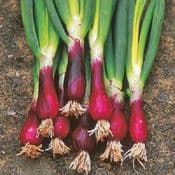 Strip Pack of  20 - Spring Onion- Red -  Young Plants