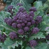 Strip Pack of 6 - Purple Sprouting Broccoli -  6 Young Plants