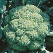 Strip Pack of 8 - Broccoli - Marathon -   Young Plants