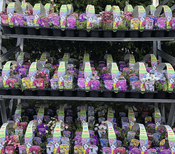 TRADE PACK - 20 PACKS - 120 PLANTS  - FOR COLLECTION ONLY FROM LN8 - Perennial Hardy Alpines