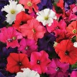 Trailing  Petunia Plants - lot's of colours to choose from - 9cm pots
